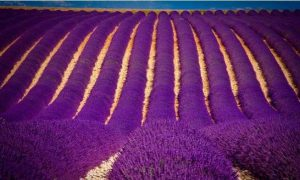 Lavender_fields_in_India (1)