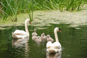 swan-1463678_1280
