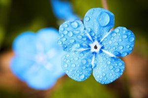 flower-2blue